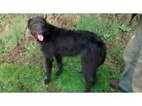 Lurcher dog for sale