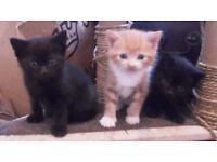3 Kitten's for sale