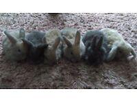 Lop eard bunnies
