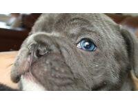 blue french bulldog boys KC reg