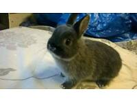 Netherland Dwarf buck for sale