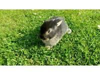 Black baby rabbit for sale