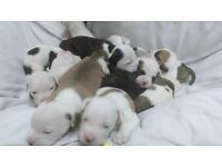 American Bulldog puppies ready to go, only six left