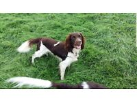 Gorgeous home bred springer spaniel puppies