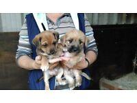 Norfolk X Puppies