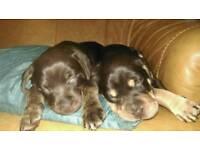 Staff-Shar pei puppies