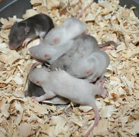 Fancy Baby Rats!