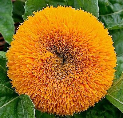 Sunflower Dwarf Teddy Bear 50 seeds * HEIRLOOM * Cute Garden Flower * CombSH J22