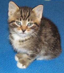 "Baby Male Cat - Tabby - Brown: ""Rookie"""