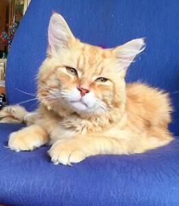 """Adult Male Cat - Domestic Medium Hair (Orange): """"Mango"""""""