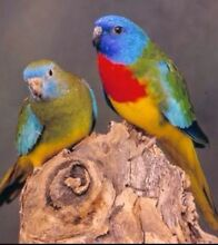 Hen scarlet chested parrots Albanvale Brimbank Area Preview