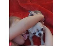 pedigree chihuahua Girl 3 years very tiny and very loving,