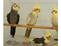 HIGH & STRONG QUALITY Baby Cockatiels [£40 EACH] For Sale + Cages From £30