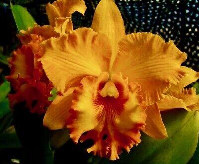 Cattleya Orange Blossom Hybride Duft Orchidee Orchideen Laelia - Orange Blossom Duft