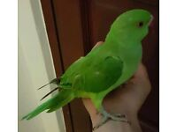 HIGH & STRONG QUALITY Tame Baby Indian Ringneck Parrots [£130 EACH] For Sale