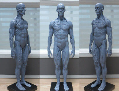 (1:6 30cm PU Human Skeleton Anatomical Model Anatomy Skull Sculpture Body Muscle)