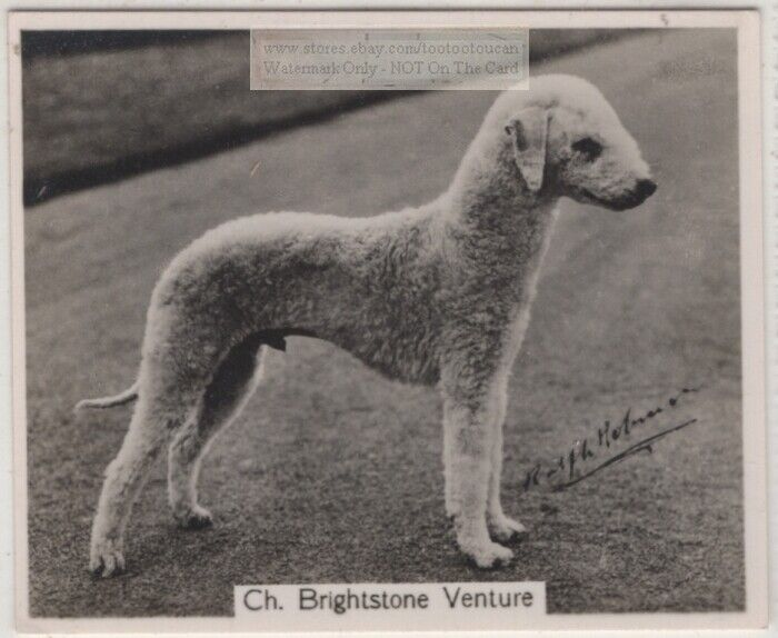 Bedlington Terrier 1930s Champion  Dog Breed Canine Pet Ad Trade Card