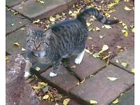 Missing Tabby cat with pink collar