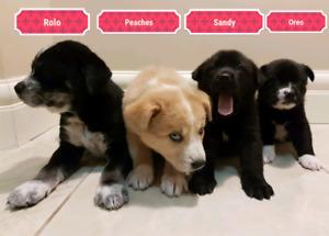 Adorable Lab Cross Puppies!