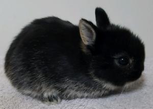 Purebred Netherland Dwarf Baby Bunnies