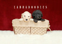 Adorable LABRADOODLE Puppies FOR SALE!  Reduced Price!