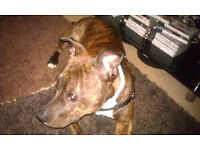 Staffordshire Terrier For Sale