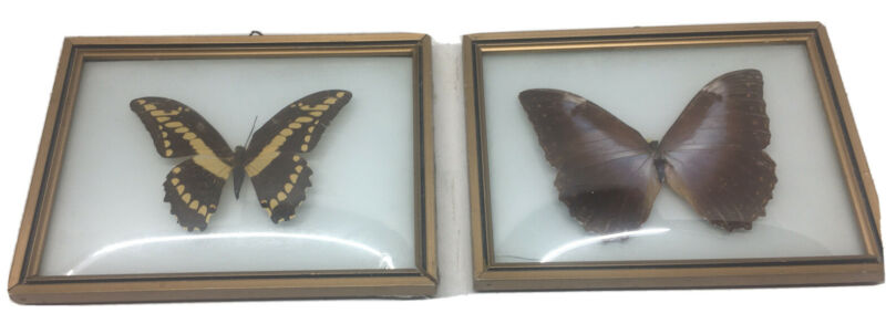 Real Butterflies In Curved Glass Frames 2VTG Pictures From Brazil Christmas Gift