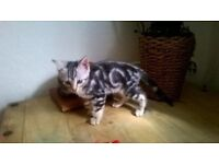 Bengal kittens ,silver marble girls for sale