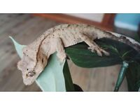 Tiger crested gecko