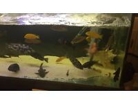 All sort of malawi cichlids fishes