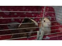 Two Guinea Pigs with lots of extras £65