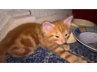 2 ginger male kittens for sale 😺