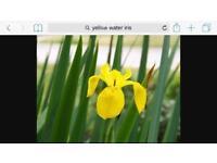 Beautiful water iris pond plants. Yellow