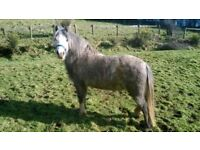 4 years old Welsh Mountain pony gelding