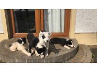 Collie Sheepdog pups