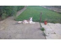 Beautiful Female Dog Alaskan Malamute For Sale