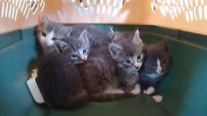 Free beautiful litter trained kittens