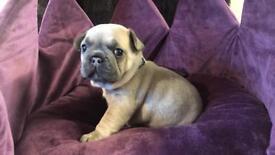 Fantastic Blue Fawn French Bulldog Puppies