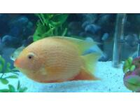 Severum fish for sale