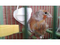Canary Mule, Raza Canary