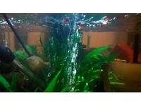 Free to good home 2 Dwarf Gourami