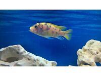 malawi cichlid tropical fish
