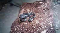 King snake! For sale.