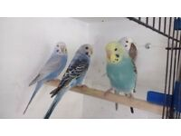young budgies for sale 8 weeks old