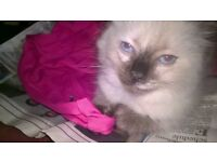 Birman Tortie Point Blue Eyed Bi Colour healthy indoor kittens ready to go to forever love homes now