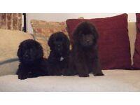 Newfoundland x Golden Retriever Puppies