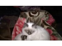 Birman Seal and Tortie Point blue eyed, long haired Kittens, indoor cats only ready to leave now