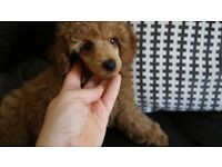 KC registered Toy poodle puppies