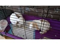 Two neutered male rabbits need a new home