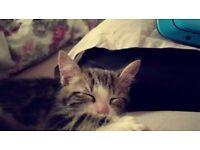 MALE kitten for sale - 14 Weeks old